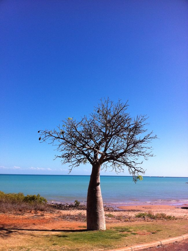 Bottle Tree - Western Australia.