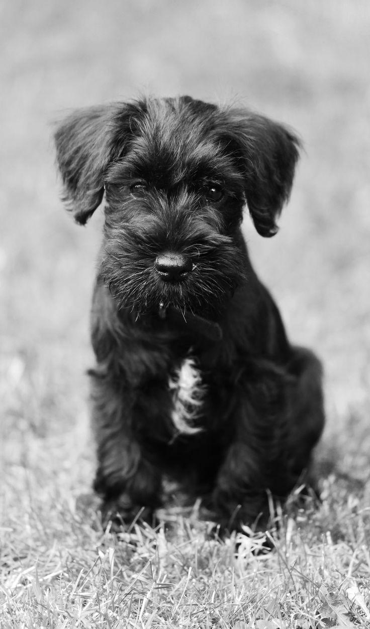 Dennis the 9 week old Black Miniature Schnauzer #schnauzer #miniatureschnauzer