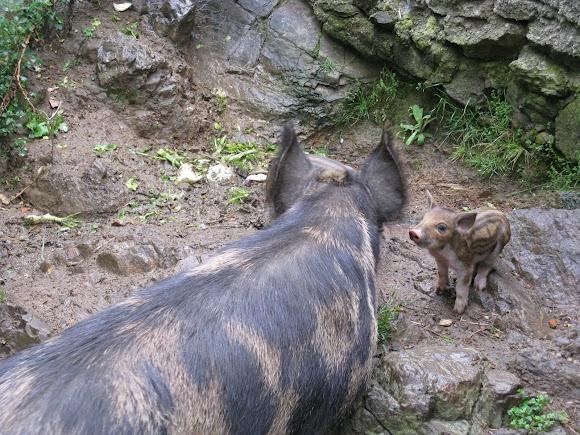 Wild boar, hog, spotted in Sardinia (Sardegna), Italy.