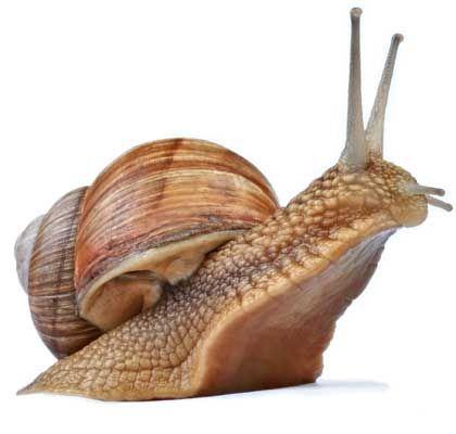 Información sobre caracoles terrestres