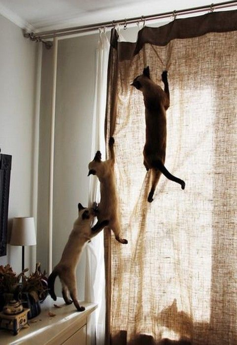 Reasons For Having Curtains 1 Cat Climbing OH BEHAVE
