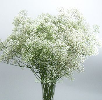 $99.99 for 10 bunches: Baby's Breath White Buy white wholesale Baby's Breath filler at bulk savings for weddings, parties, special events and more. A perfect filler simple to use, Babies Breath, also known as Gypsophila, is used commonly to complement floral arrangements and rose bouquets, fresh or dried. Each bunch holds from 6-10 stems per. Buy bulk Babys Breath online and save with free shipping to your door. FREE SHIPPING on all Babies Breath Gypsophila flower orders (US FedEx)
