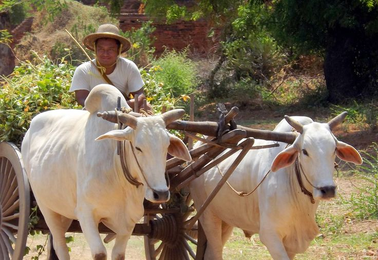 A farmer heads home after a morning in the fields, his cattle-draw cart full. Burmese days are slow in Bagan, Myanmar. (2014)