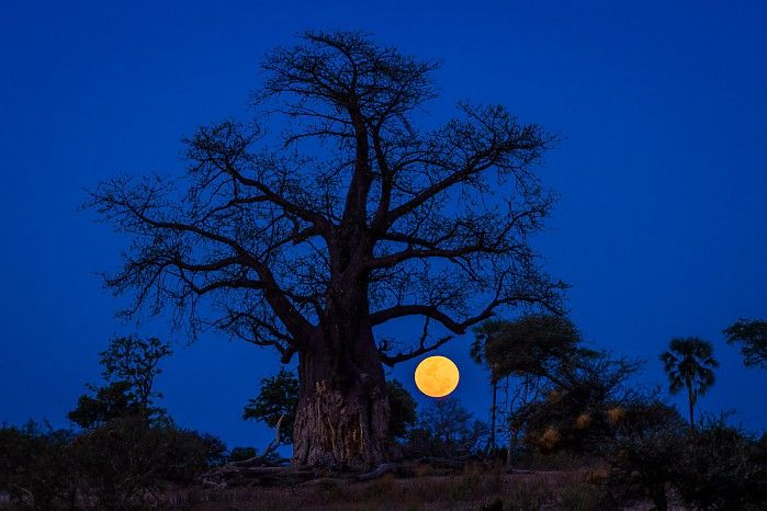 November 2016's #Supermoon rising behind Bob the Baobab #Okavango