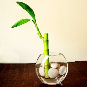 lucky bamboo shoot plant in a vase