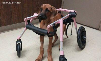 Otthon gyógyította meg a nyaktól lefelé lebénult kutyáját ez a gazdi