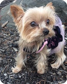 Ohia Mia a Yorkie, Yorkshire Terrier for adoption in Sinking Spring, PA who needs a loving home.