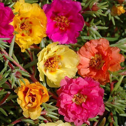PRAKTPORTLAK 'Sundial' i gruppen Ettåriga blomsterväxter hos Impecta Fröhandel (8681)