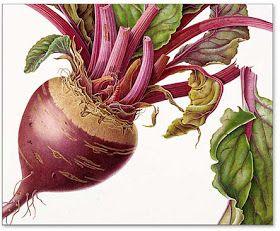 Beetroot (detail) by Susannah Blaxill. Watercolour