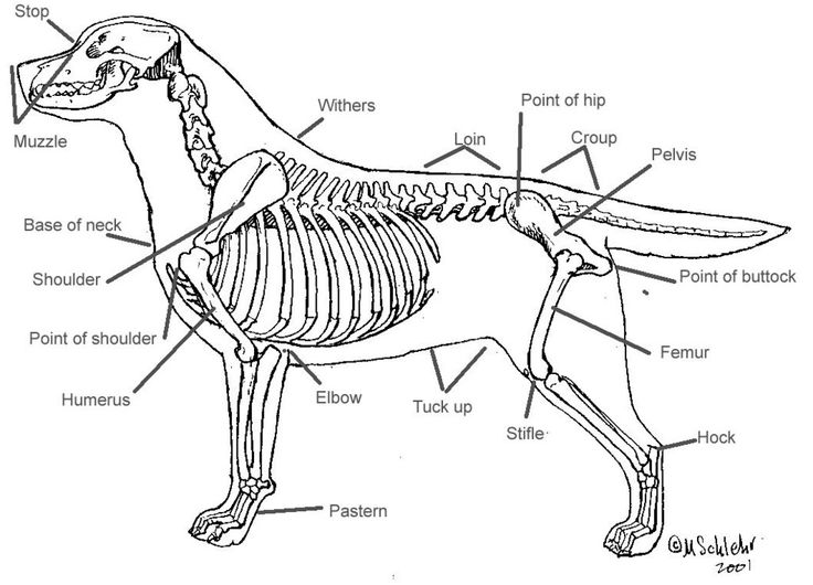 skeleton of labrador retriever