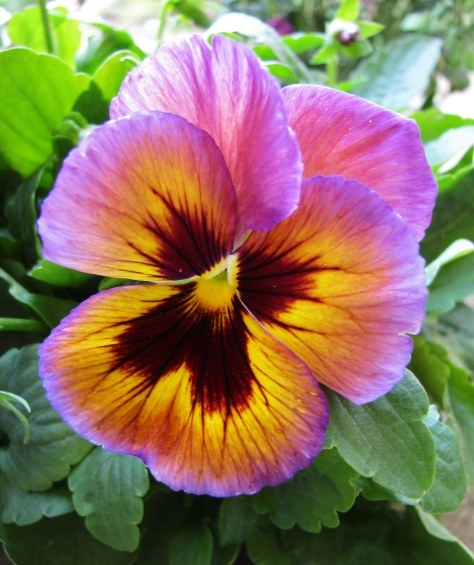Beautiful Pansy