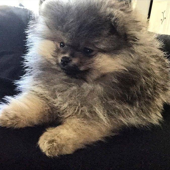 Ozzy, 10 week, my baby Pomeranian, by Helga Markhus, Norway