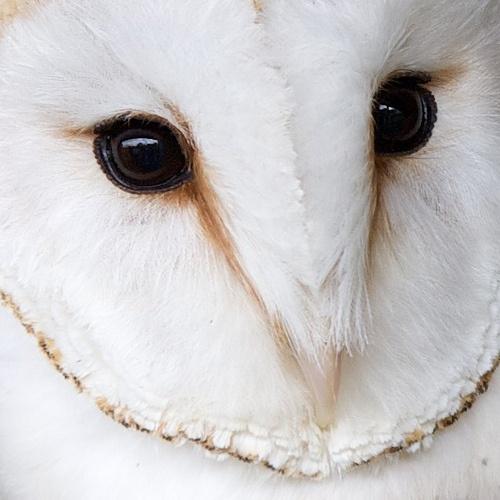 Barn Owl face | Weird creatures, Beautiful birds, Owl