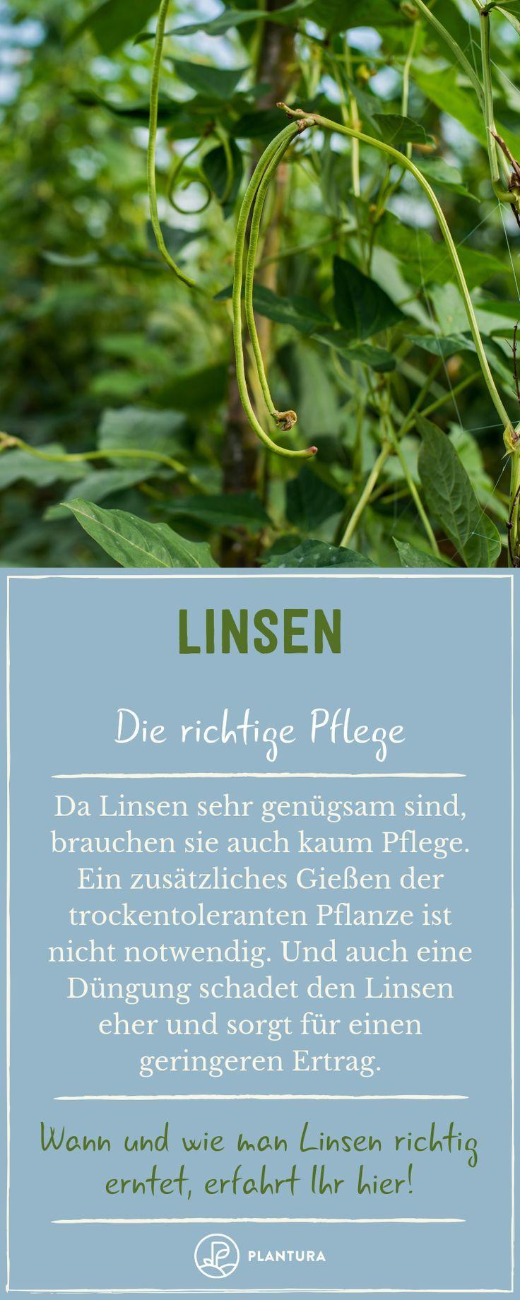 Linsen Anbau Pflege Ernte Plantura Linsen Pflanzen Gartentipps