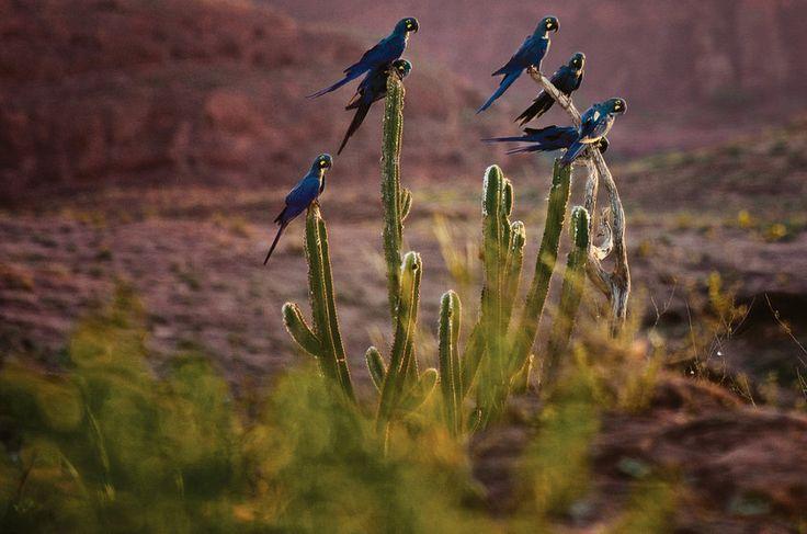 Arara-azul-de-lear (Anodorhynchus leari): vive na Caatinga. É uma sertaneja rara, cujo azul-marinho forte e marcante desponta no sertão da Caatinga, região em que vive. Alimenta-se de coco de palmeiras, e aproveita os oásis de maciços de pedra perto da lendária cidade de Canudos e no Raso da Catarina e até no município de Juazeiro, onde já foi avistada. Projetos de conservação de fazendeiros, junto com o Ibama, estão conseguindo controlar a predação humana – como a de traficantes de animais.