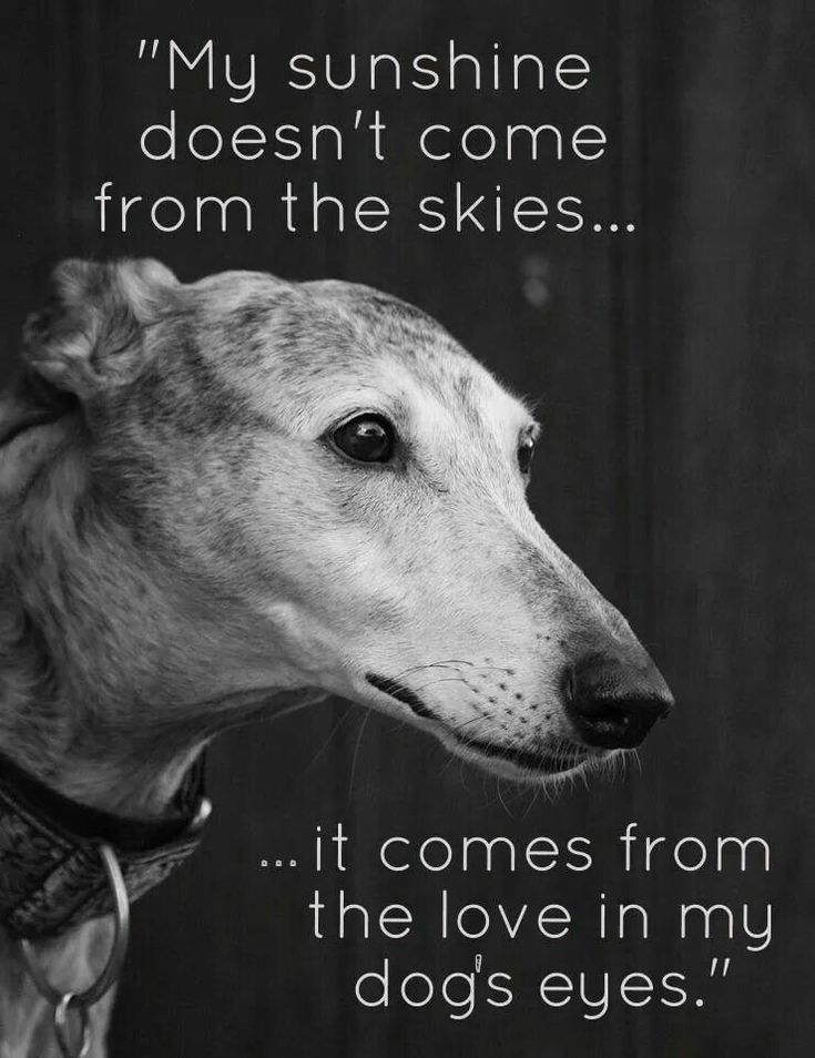 Lovely greyhounds.