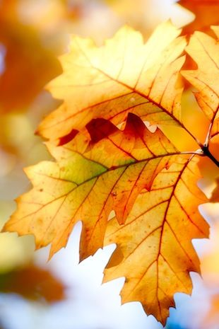 leaves: Autumn Scene, Oak Leaves, Fall Leaves, Color Combos, Autumn Leaves, Favorite Seasons, Autumn Style, Autumn Wallpapers, Autumn Color