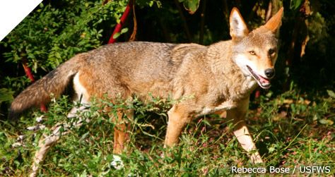Don't Let Red Wolves Go Extinct in the Wild