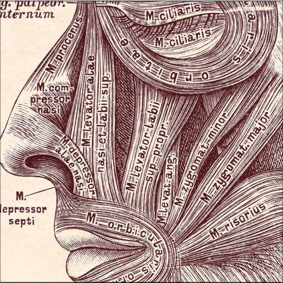 Art de l'anatomie anatomique, muscles tête visage, affiches éducatives, art médical, décor de la salle d'attente médicale, imprimer affiche de l'anatomie humaine, 11 x 14