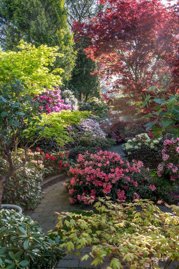 I Gerts trädgård blommar hundratals rhododedron och azaleor med en färgprakt som fullständigt knockar en. Gerts trädågård består bla av en hög slänt eller vall mot grannen. Den har fyllts med roddisar och azaleor och det är både vackert och effektfullt.