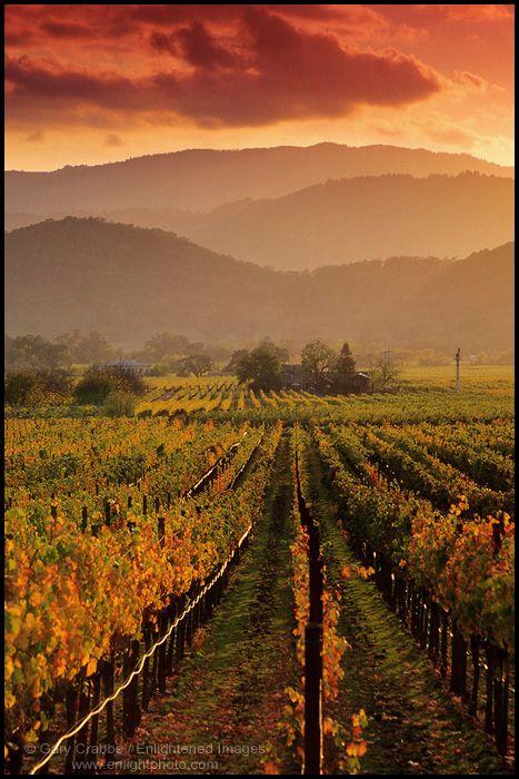 Sunset light over vineyards in fall along the Silverado Trail near Oakville, Napa County, California