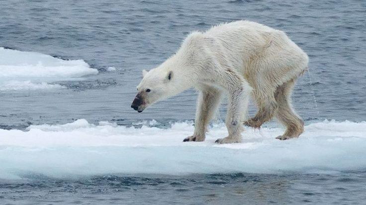 Este oso polar está así por culpa del calentamiento global ...