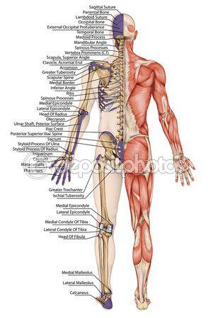 Cuerpo anatómico, esqueleto humano, anatomía del sistema óseo humano, contorno superficial del cuerpo y las prominencias óseas palpables del tronco y miembros superiores e inferiores, vista posterior, cuerpo completo — Foto de stock © stihii #60811617