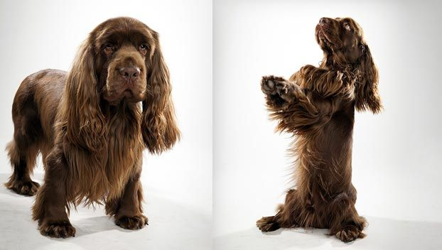 Sussex Spaniel: Tends to be less playful and demonstrative than other spaniels, with a lower energy level. This makes it better suited for city life, but it still appreciates the chance to take to the wilds and hunt up birds. It tends to bark when hunting, which has made it less popular with hunters than other breeds; some also bark or howl when not hunting. At home it is calm, steady and easygoing,