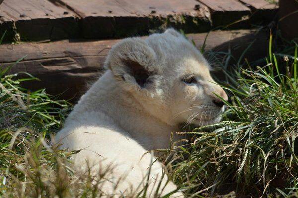 White lion cub