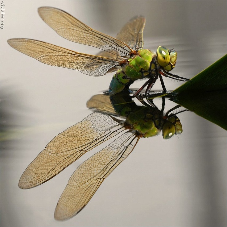 Dragonfly & reflection