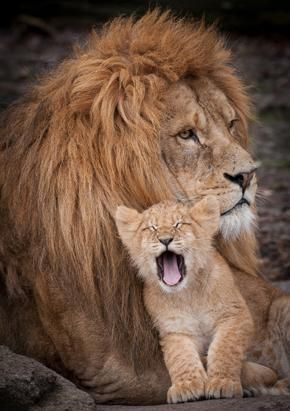 This tiny cub cuddled up to its father and gave a big yawn to the photographer at Odense Zoo, Denmark.