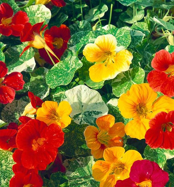 64 best Nasturtiums images on Pinterest Flowers Paintings and