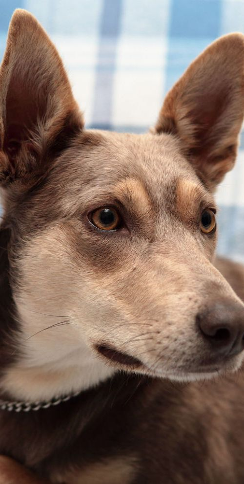 Australian Kelpie Dog Omg Konner its molly