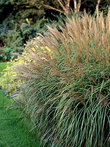 "13 Plants That Give You Bang for Your Buck Perennials Maiden Grass ""This grass forms a light, airy four-foot-tall mound and grows really well in otherwise tough and dry sites."