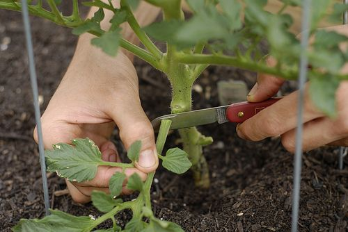 The Best Way To Prune Tomato Plants For A Big Harvest - http://www.homesteadingfreedom.com/the-best-way-to-prune-tomato-plants-for-a-big-harvest/