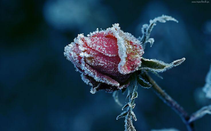 Róża, Szron