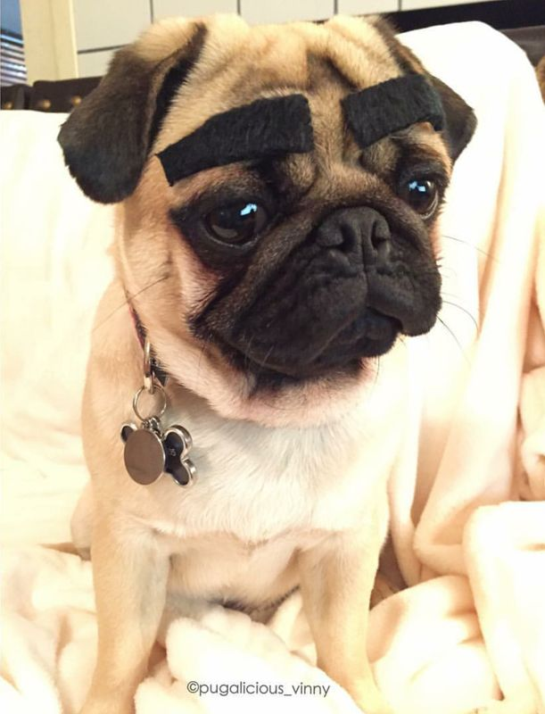 Pugalicious Vinny – Dogs With Eyebrows