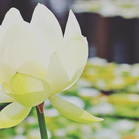 Working on new sigils, crafts, and readings to add to the store, plus my very own newsletter! So many things to do, so little time.  #busybusybusy #lotus #garden #lotusflower #modronlotusgarden #researchanddevelopment