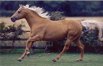 """IL CAVALLO QUARTER HORSE. I primi esemplari di Equus Caballus apparvero nel continente americano circa un milione d'anni fa ma, come abbiamo detto nel paragrafo """"Le Origini"""", a causa di sconvolgimenti climatici, tutti gli equidi di queste terre si estinsero all'incirca ottomila anni fa. Furono gli…. Per continuare a conoscere la razza: https://itunes.apple.com/it/app/vademecum-del-cavallo-secondo/id765697733?mt=8&uo=4 Grazie."""