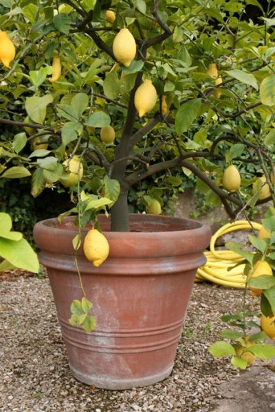 1000 images about lemons trees orange trees on how to grow lemon and lime trees