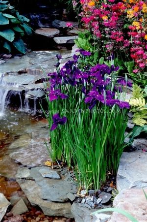 Pretty Water garden plants Iris ensata, Primula japonica, ferns, with waterfall and stream with rocks.