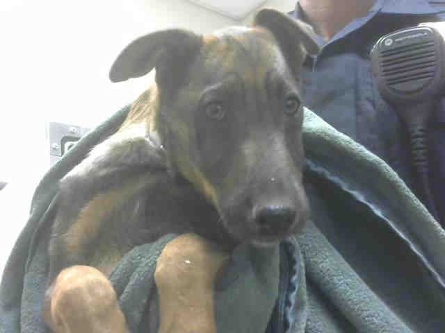 ●10•20•17 SL ON FB● ■PINOLE, CA■ (WAS TBD 10•19•17) ●A898839● Dogs in Need #EUTHLISTED The Last Of The CRUELTY CASE DOGS Need Your Shares To Find A Rescue Group or Forever Homes Where They Can Decompress & Have the Positive Social Experiences They Need to Heal & Learn To Trust. ID#A898839 Female, brown and black German Shepherd Dog mix about 7 months old. Kennel # PIN A03. 1-(925)-608-8400 #MasterDogTrainingandSocializing