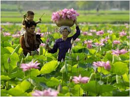 The lotus flower is commonly cultivated in Vietnam for decorative and culinary purposes.