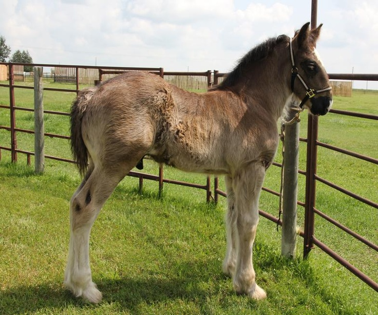"A little ""Big Guy""     Shire foal  GENTLE GIANT RANCH -Shire Horses"