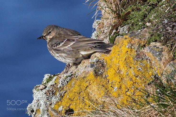Meadow pipit (Anthus pratensis) by eskorantanen via http://ift.tt/2sj4KDn