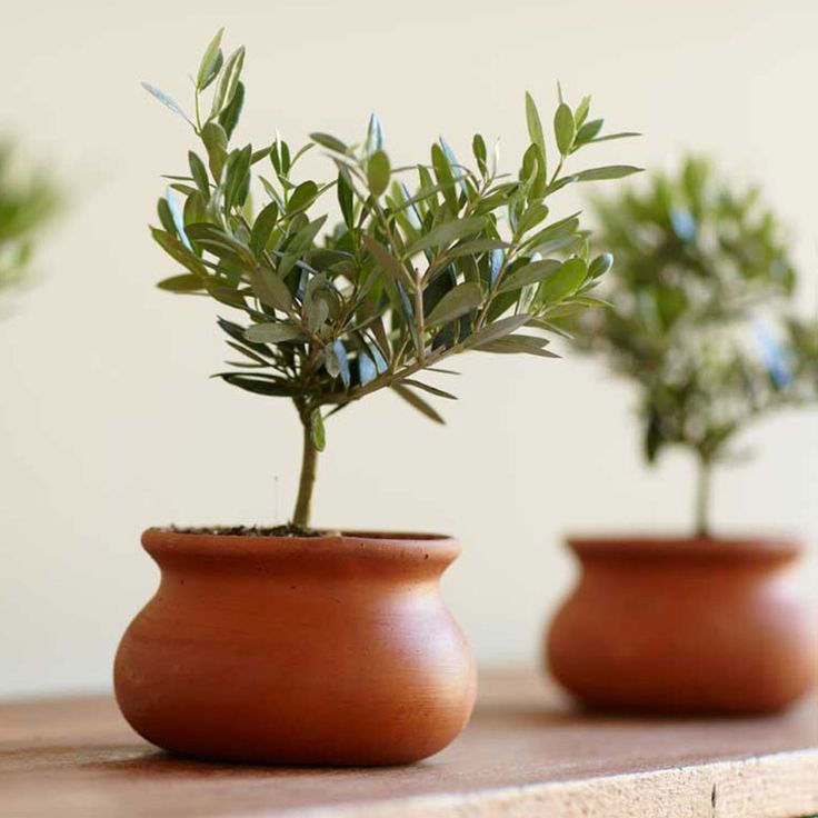 Olive Plant Topiary Olive plant, Olive tree care, Plants