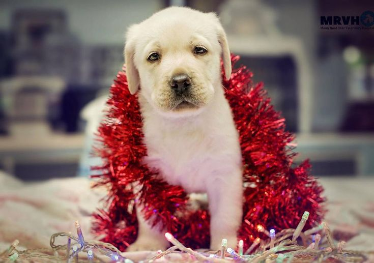 Imagine waking up to one of these under your Christmas Tree!#labrador #labradorpuppy #manlyroadvet #christmas #manly #wynnum #localvet #dogs #christmas #puppy #cute #sweet #pocket_pets #veterinarian #veterinary #veterinarylife #vetnurse #vettech #pets #ig_myshot #ig_captures