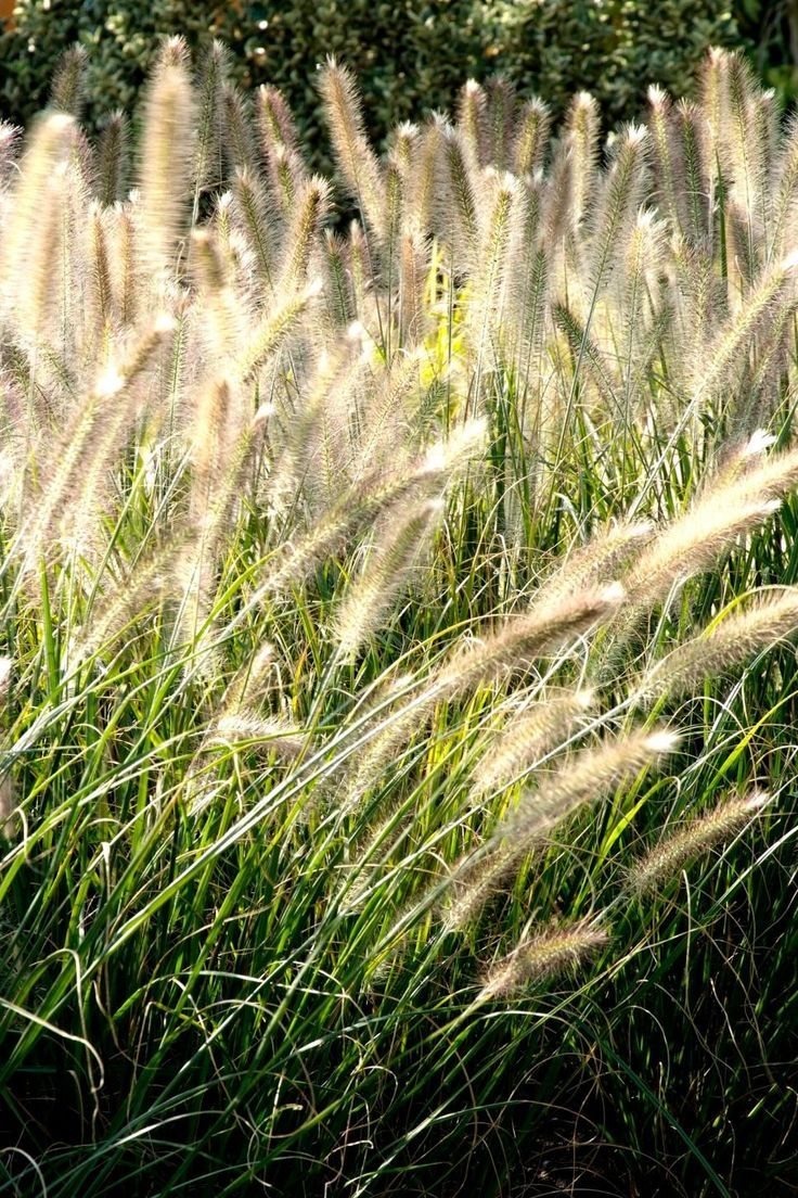 Ornamental Grasses Hillside Annual Plants Ornamental Grass Landscape Shade Grass Ornamental Grasses For Shade