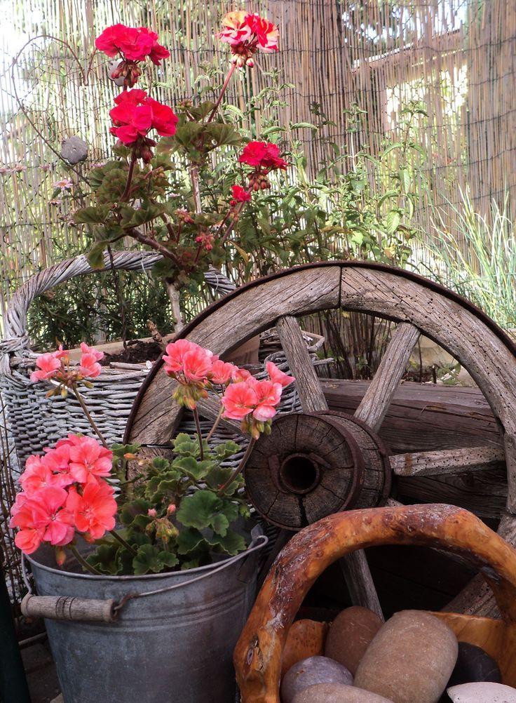 Koutek s muškáty - Pelargonium zonale