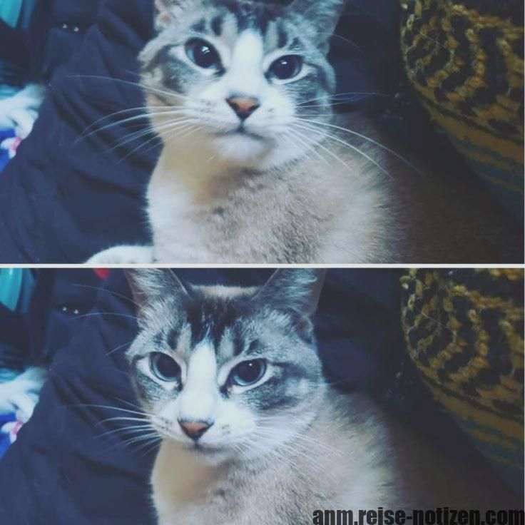 Excellent Snap Shots Siamese Cats Lynx Tips Siamese Kitties Work